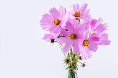 цветок предпосылки декоративный цветет зеленая текстура лета картины Чувствительные цветки пинка космоса на белизне Стоковые Изображения RF