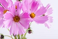 цветок предпосылки декоративный цветет зеленая текстура лета картины Чувствительные цветки пинка космоса на белизне Стоковые Фото