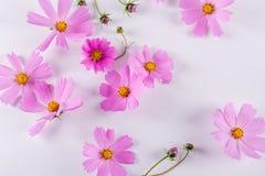 цветок предпосылки декоративный цветет зеленая текстура лета картины Чувствительные цветки пинка космоса на белизне Стоковые Изображения
