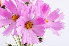 цветок предпосылки декоративный цветет зеленая текстура лета картины Чувствительные цветки пинка космоса на белизне Стоковые Фотографии RF