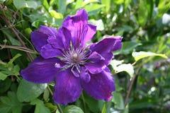 Цветок президента Clematis Стоковое Изображение RF