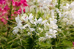Цветок предпосылки белый и свет 67 солнца Стоковые Изображения RF
