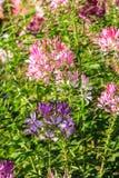 цветок предпосылки естественный Изумительный взгляд природы фиолетовых цветков Стоковая Фотография RF