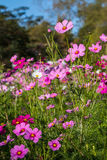 цветок предпосылки естественный Изумительный взгляд природы фиолетовых цветков Стоковая Фотография