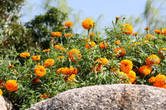 Цветок предпосылки желтые и утес 53 Стоковые Фотографии RF