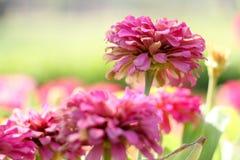 Цветок предпосылки розовые и свет 56 солнца Стоковая Фотография RF