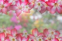 Цветок предпосылки сладостный розовый, искра и опорожняют центральный космос для текста или с путем клиппирования и изменять пред Стоковое Фото