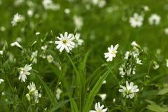 цветок предпосылки цветет белизна зеленого цвета травы фокуса наиболее ближайшеближайше Весна Стоковая Фотография RF