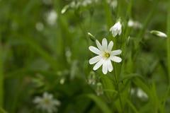 цветок предпосылки цветет белизна зеленого цвета травы фокуса наиболее ближайшеближайше Весна Стоковое Изображение