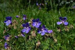 Цветок притязания гераниума гераниума луга стоковая фотография rf