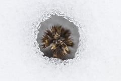 Цветок приходя вне от реального снега Стоковое Изображение RF