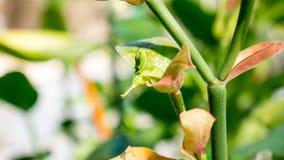Цветок птицы или bracteatus Pedilanthus Стоковые Изображения