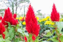 Цветок птицы-носорог или китайские шерсти цветут в саде Стоковая Фотография RF