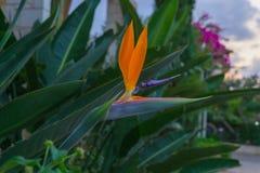 Цветок птицы рая Стоковые Фотографии RF