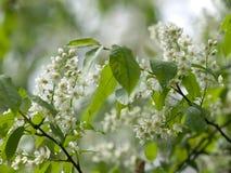 Цветок птиц-вишни после дождя Стоковые Изображения RF