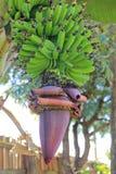 цветок пука банана Стоковые Изображения