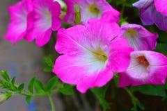 Цветок пурпура конца-Вверх Стоковые Изображения