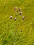 Цветок пурпура Thistle Стоковая Фотография RF