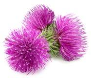 Цветок 3 пурпуров чертополоха с зеленым бутоном Стоковая Фотография