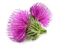 Цветок 2 пурпуров чертополоха с зеленым бутоном Стоковые Фото