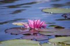 Цветок пусковой площадки лилии Стоковые Фото