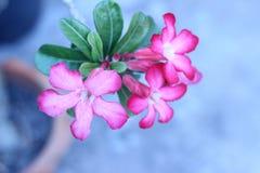 Цветок пустыни розовый в саде Стоковые Изображения