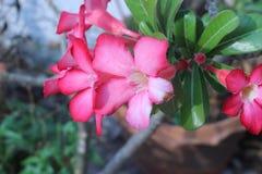 Цветок пустыни розовый в саде Стоковое Изображение