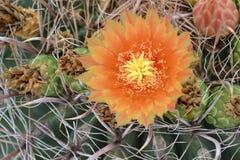 Цветок пустыни Стоковые Фото