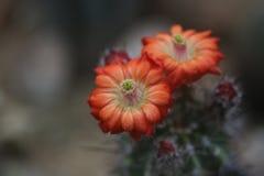 Цветок пустыни Стоковая Фотография RF