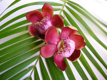 цветок пушечного ядра ninenteen Стоковое Изображение