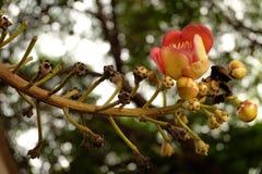 Цветок пушечного ядра на Wat Putthaisawan Стоковые Фотографии RF