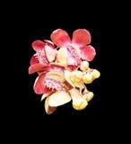 Цветок пушечного ядра Стоковая Фотография