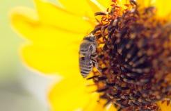Цветок пчелы желтый солнцецвета Стоковые Фотографии RF