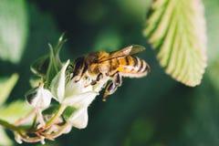 Цветок пчелы и поленики Стоковая Фотография