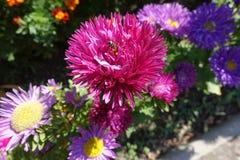 Цветок пчелы меда опыляя астры фарфора Стоковые Фотографии RF