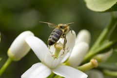 Цветок пчелы меда опыляя дерева лимона Стоковое Фото