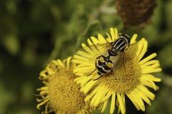 Цветок пчелы опыляя Стоковое Фото