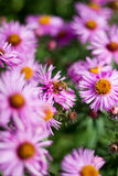 Цветок пчелы опыляя Стоковые Изображения RF