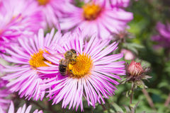 Цветок пчелы опыляя Стоковая Фотография RF