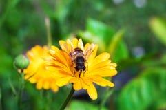 цветок пчелы Стоковые Фото