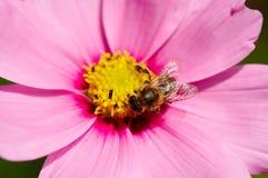 цветок пчелы Стоковая Фотография RF