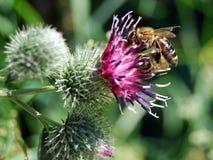 цветок пчелы Стоковая Фотография
