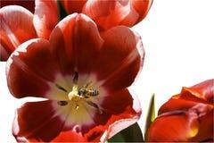 цветок пчелы Стоковое фото RF