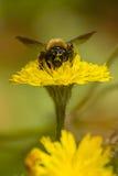 Цветок пчелы и весны Стоковые Фотографии RF