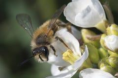 Цветок пчелы и весны Стоковое фото RF