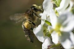 Цветок пчелы и весны Стоковая Фотография RF