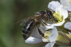 Цветок пчелы и весны Стоковое Изображение RF