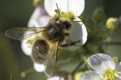 Цветок пчелы и весны Стоковое Фото