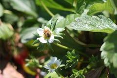 Цветок пчелы и клубники Стоковая Фотография RF