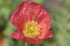 Цветок пчелы и мака Стоковые Изображения